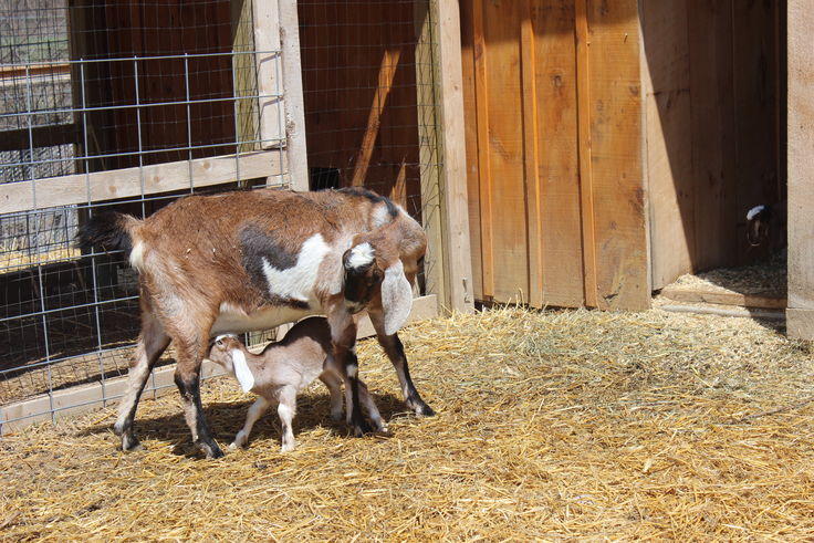 Baby Goats and Mom