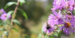 Enlarge image Honeybee